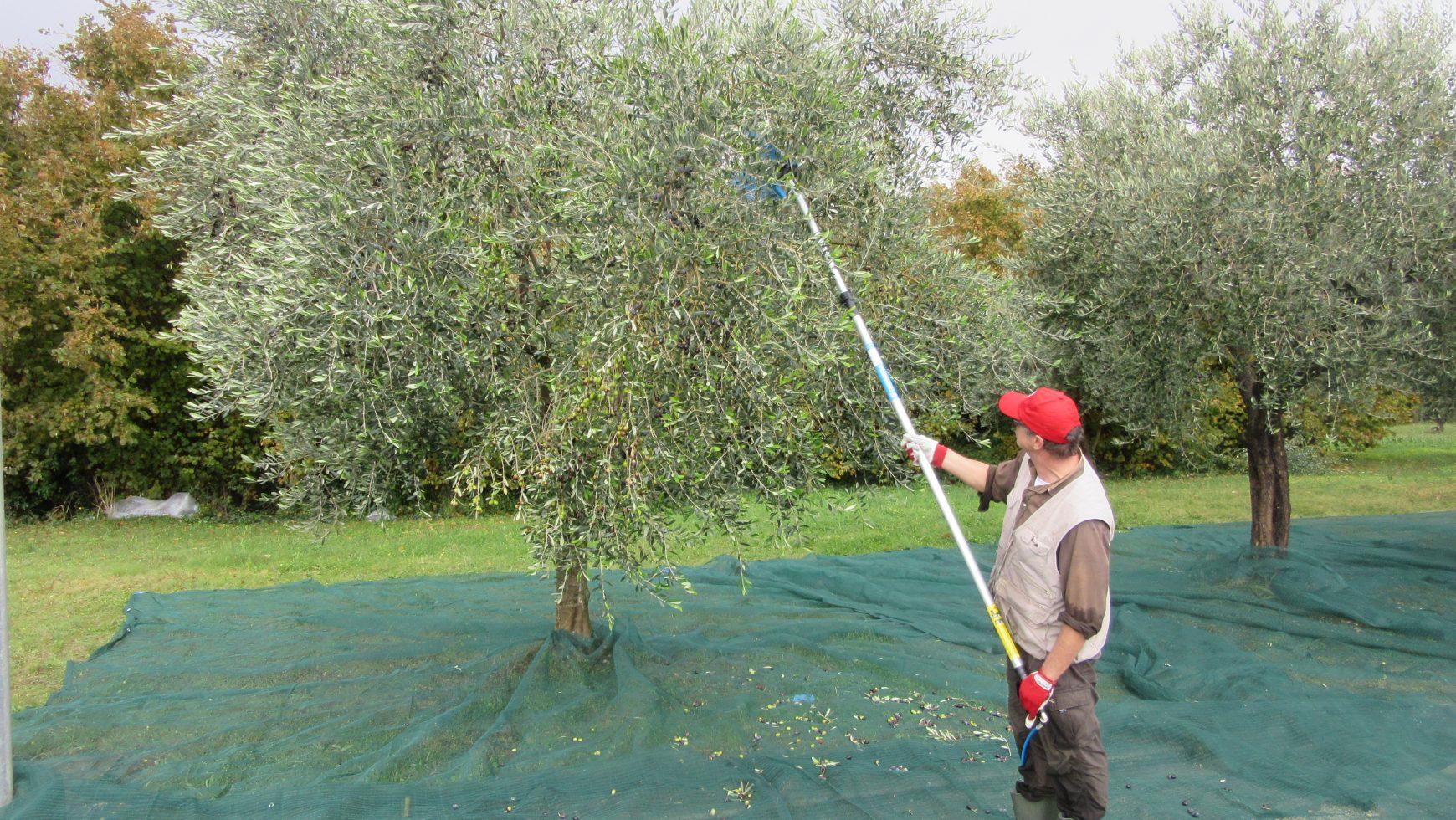 Raccolta olive – Novembre 2017